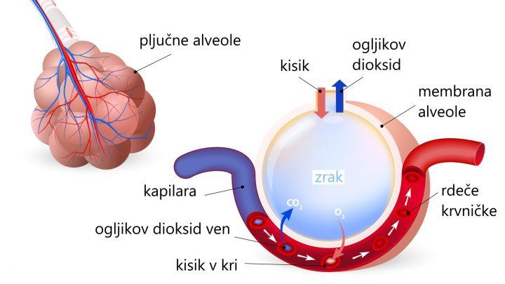izmenjava kisik - ogljiv+kov dioksid v pljučni alveoli