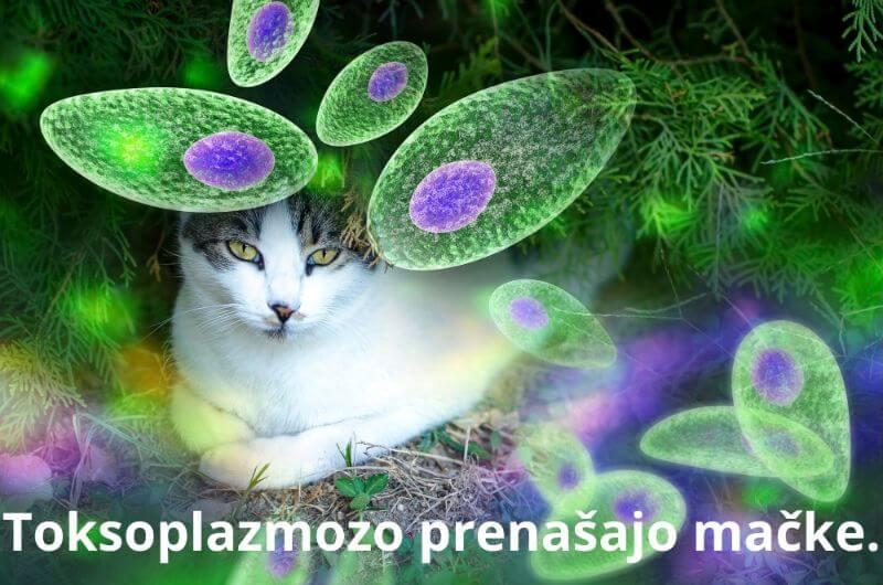 Toksoplazmoza - prenašajo mačke Toksoplasma gondii - Zapper Zaper Zaperino