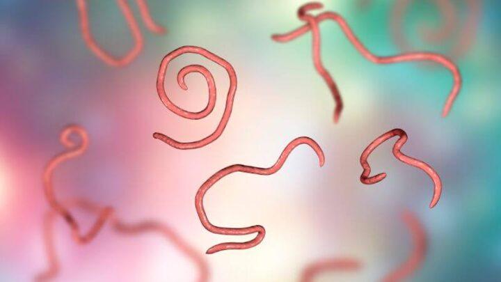 NEMATODI parazitski okrogli črvi podančice, navadna človeška glista